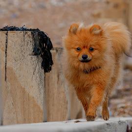 Pomeranian at the beach by Jenny Trigg - Animals - Dogs Running ( dog photography, beach, dog, running, pomeranian )