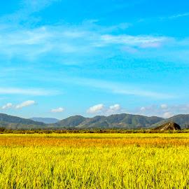 Colorful field  by Hoài Quốc - Landscapes Prairies, Meadows & Fields ( field, rice, nature, travel, landscape )