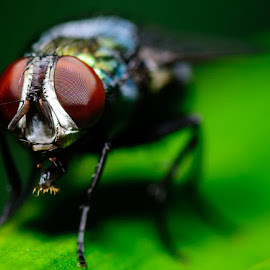 Oh My Eyes by Wilson Intai - Novices Only Macro ( macro, fly, insect, close up )