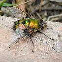 Gold green Rutilia fly