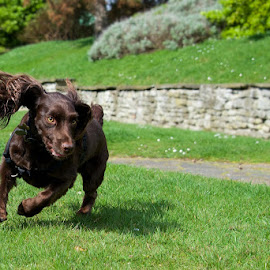 Archie by Indies Images - Animals - Dogs Running ( spaniel, dogs running, dog, standard spaniel )