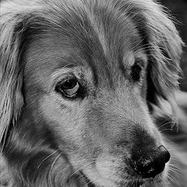Jake, our neighbor's Nova Scotia Duck Tolling Retriever :) by Jamie Cournoyer - Animals - Dogs Portraits