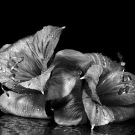 by Dipali S - Black & White Flowers & Plants ( plant, detail, gift, single, seasonal, black and white, colorful, bright, botany, one, object, beauty, botanical, spring, pretty, blossom, close, macro, nature, fresh, head, closeup, flower, decoration, blooming, flora, beautiful, bloom, render, lily, season, color, summer, freshness, garden, natural, floral, growth )