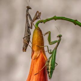 Iris oratoria by Stefania Loriga - Animals Insects & Spiders ( fiore, macro, insetti, iris oratoria, mantis )