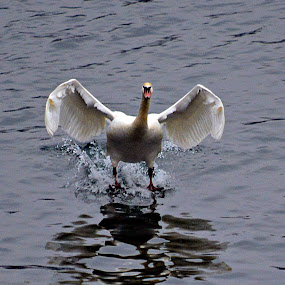 Sletanje  by Jelena Puškarić - Animals Birds ( bird, fly, flight,  )