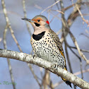 "Northern Flicker ""yellow-shafted"""