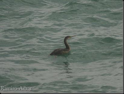 cormoran moñudo