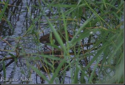Rallus aquaticus