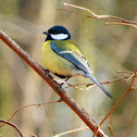 Great tit/Koolmees