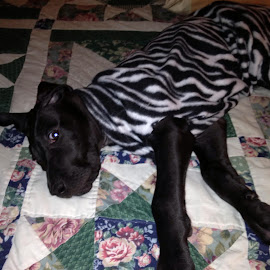 Wyatt in stripes by Theresa Campbell - Novices Only Pets