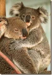 koala gunnedah compressed