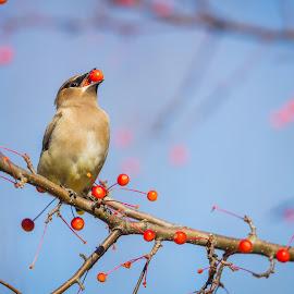Cedar Waxwing by Chris Hurst - Animals Birds ( bird, cedar waxwings, cedar wax wing, cedar waxwing, birds, waxwing )