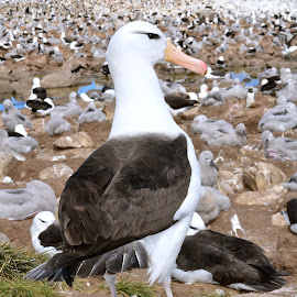 Colony of Albatross by Janet Rose - Novices Only Wildlife