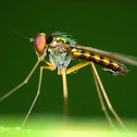 Longlegged Flies