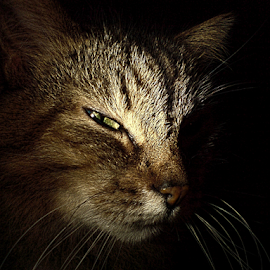 More cunning me? by Jurijs Ratanins - Animals - Cats Portraits ( look, mobilography, cat, pet, portrait )