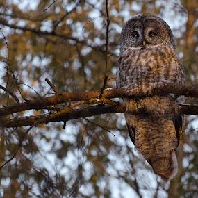 Great Gray Owl by Rachel Bilodeau - Animals Birds ( chouette, lapone, great gray, owl, raptor, great gray owl / chouette lapone )