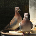 Laughing Dove Streptopelia senegalensis