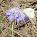 Cabbage White (male) Butterfly