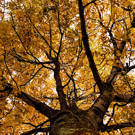 looking up by Vibeke Friis - Nature Up Close Leaves & Grasses ( trunk, tree, autumn, leaves,  )