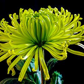 autumn flower by LADOCKi Elvira - Flowers Flower Gardens ( nature, flowers )