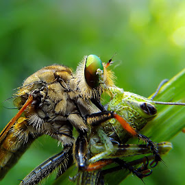 sarapan pagi by Hendrata Yoga Surya - Instagram & Mobile Android ( serangga, insects, robber, robber fly, robberfly )