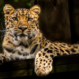 I see you  by Sheldon Anderson - Animals Lions, Tigers & Big Cats ( animals, cat, stare, leopard, eyes )