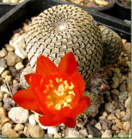 Rebutia heliosa fiore arancione