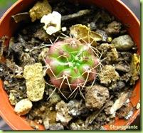 pollone-gymnocalycium