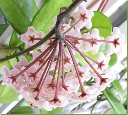 Hoya carnosa foto fiori for Pianta di cera