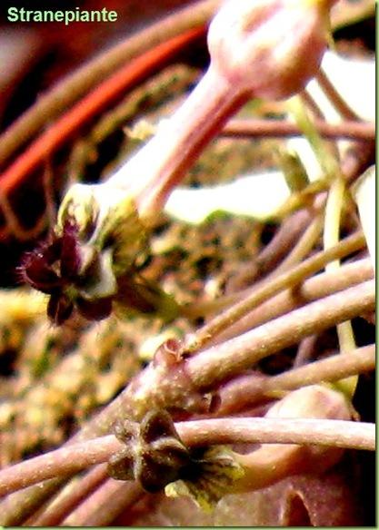 boccioli Ceropegia woodii