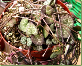 Ceropegia woodii acquisto