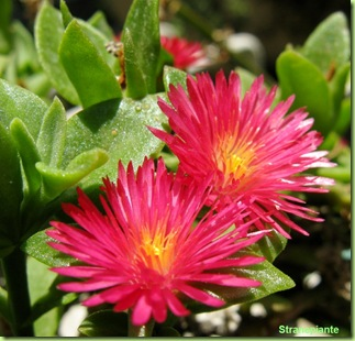 Aptenia cordifolia fiori