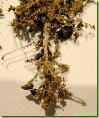 radici pianta grassa torba composta