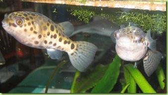 pesci palla