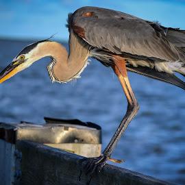 Blue Ready to Jump by BeKKa - Animals Birds ( bird, great blue heron, ms gulf coast, harbor, nature, outdoor, pier, heron )