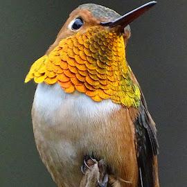 Male Allen's Hummingbird by Marilyn Bernstein - Animals Birds ( bird, hummingbird, nature up close, birds, humming bird )