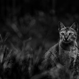watching by Idenz Kusuma - Animals - Cats Portraits
