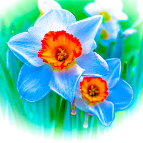 Magic daffodills by Del Candler - Digital Art Things ( orange, blue, green, daffodils, glowing )