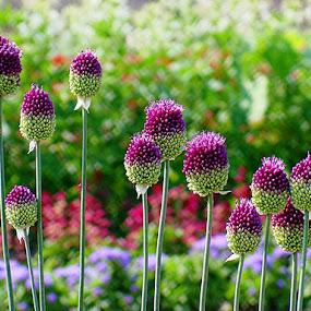 Garden Royalty by T Sco - Flowers Flower Gardens ( purple, plants, flower bed, flowers, garden, flower,  )