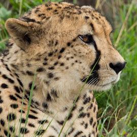 Portrait of a cheetah by Warren Hanna - Novices Only Wildlife ( cheetah, novice, south africa, wildlife, portrait )
