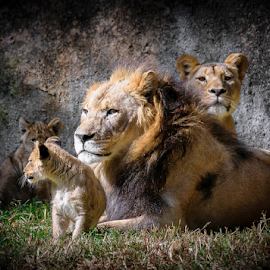 lions 3 - mom's look by Gregg Pratt - Animals Lions, Tigers & Big Cats ( lion )