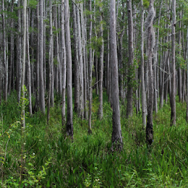 Among the trees by Priscilla Renda McDaniel - Landscapes Forests ( many trees, tree, green, trees, forest, flowers, gray )