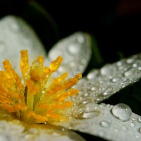 Bloodroot (Sanguinaria canadensis) by Sondra Sarra - Nature Up Close Flowers - 2011-2013 ( water, petals, drops, white, yellow, bloodroot, sanguinaria canadensis, flower )