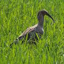 Maçarico-real(Plumbeous Ibis)