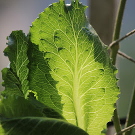 Lettuce leaf by Yatendra Amar - Nature Up Close Leaves & Grasses ( green, leaves, veins, light and shade,  )