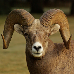 Head Cracker by Giselle Pierce - Animals Other Mammals ( horns, breeding, ewes, ram, bighorn sheep, rut, sheep )