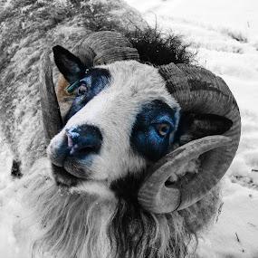 Petey The Ram by Roxanne Dean - Animals Other Mammals ( ram sheep ruminant fleece wool mane horns, , #GARYFONGPETS, #SHOWUSYOURPETS )