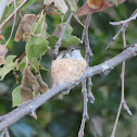 Hummingbird (Female) in Nest