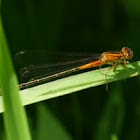 Eastern forktail (immature female)