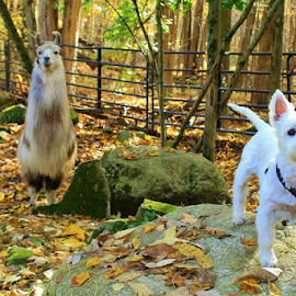 We're Fraternal by Deborah Arin - Animals Other ( dog llama phenomenon, nature, colorful, color, fall )